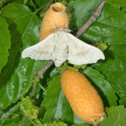Bombyx mori (Papillon Bombyx du mûrier)