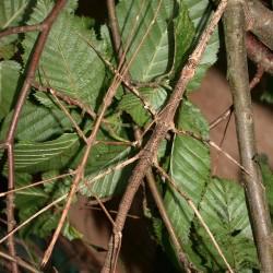 Cuniculina imbriga (Phasme-bâton du Vietnam)