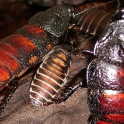 Gromphadorhina portentosa (Blatte souffleuse de Madagascar)