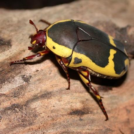 Pachnoda sinuata (Cétoine noire et jaune d'Afrique du sud)