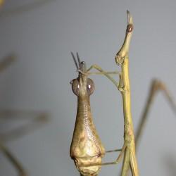 Proscopia luteomaculata (Criquet-bâton à taches jaunes)