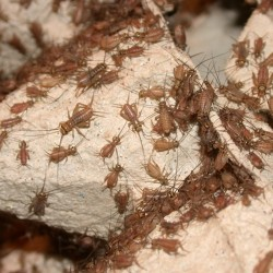 Acheta domesticus (Grillon domestique)