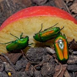 Chlorocala africana (Petite cétoine verte d'Afrique)