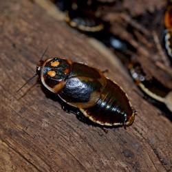 Lucihormetica verrucosa (Blatte verruqueuse)
