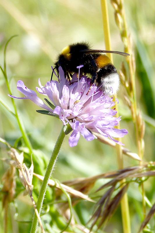 Bombus - Plan pollinisateurs